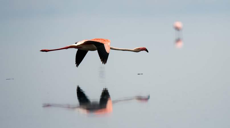 Flamingo in flight at lake Natron by Staajabu Travel
