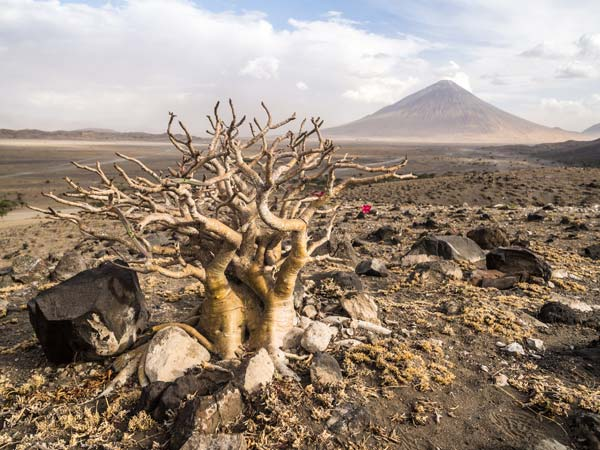 Aerial view of baobab tree with mount Ol doinyo Lengai on the background near Lake Natron by Staajabu Travel