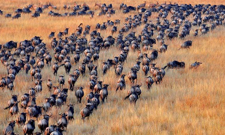 Wildebeest migration in Serengeti plains by Staajabu Travel