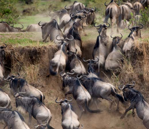 Migrating wildebeest climbing a stiff river bank in Serengeti by Staajabu Travel