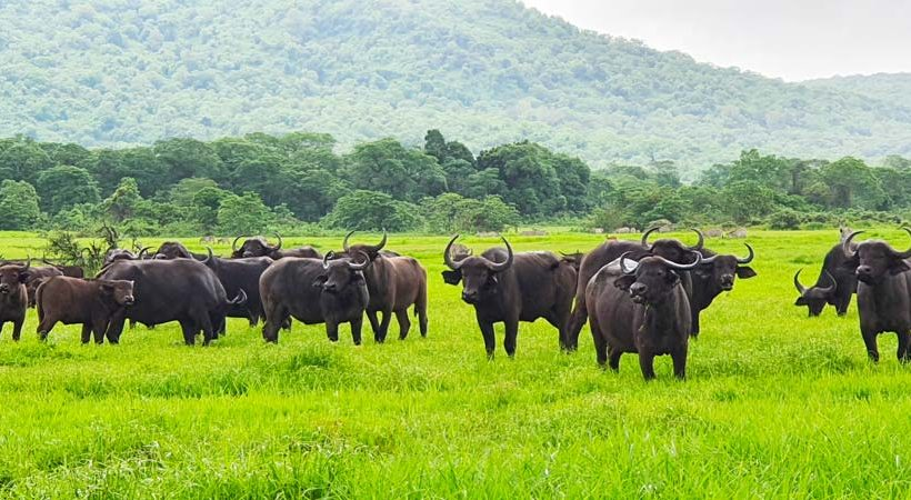 Herd of buffalos at small Serengeti in Arusha national park by Staajabu Travel