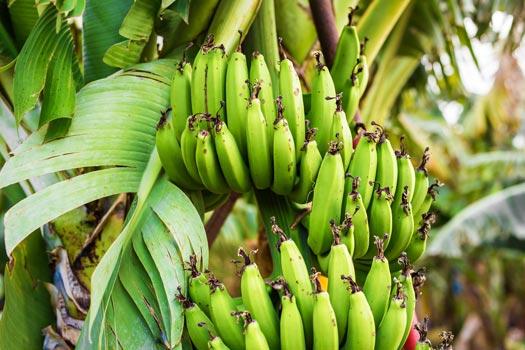 Closeup of green bananas hanging on a banana tree