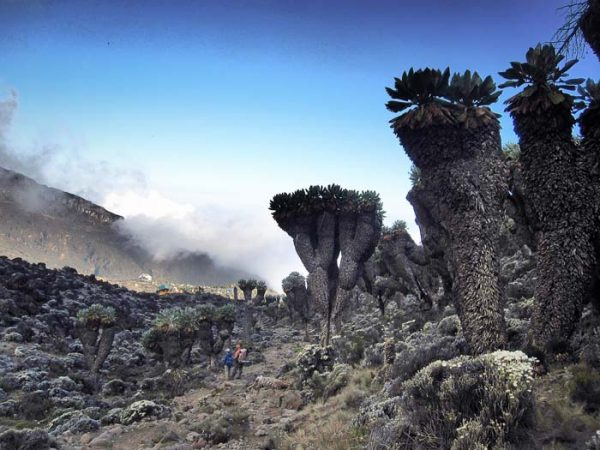 Tiny humans standing near a Dendrosenecio kilimanjari also known as giant groundsel found only on Mount Kilimanjaro in Africa by Staajabu Travel