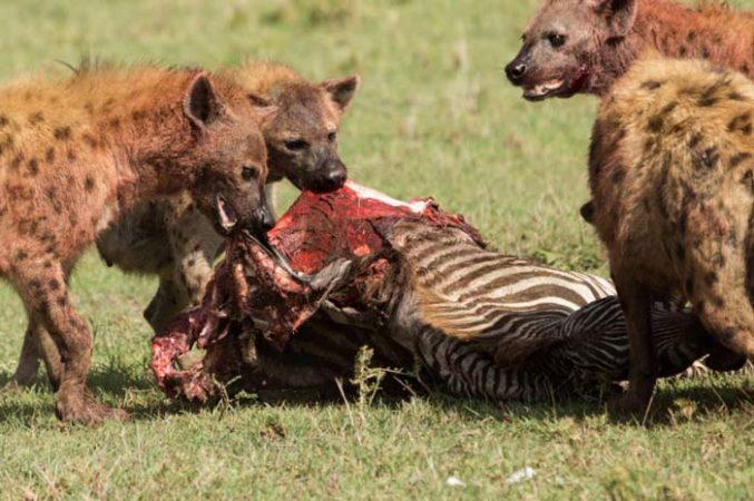 Group of 3 Hyaenas eating Zebra caucus in Serengeti