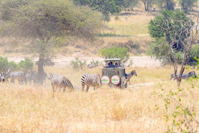 Rear view of Staajabu Safari vehicle in the midst of feeding zebra in Tarangire bush-lands