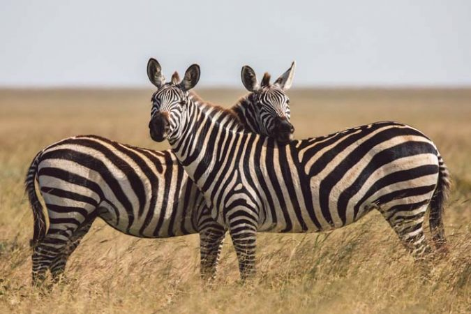 Two zebras facing opposite directions in the Serengeti endless plains by Staajabu Travel