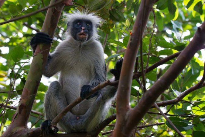 Sykes colobus monkey on a tree in Jozani forest in Zanzibar by Staajabu Travel
