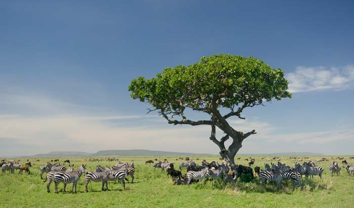 Zebras standing under one Acacia tree with many other antelopes across the Serengeti plains.